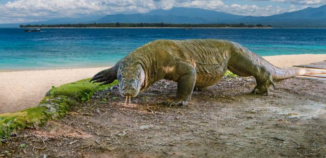 科莫多巨蜥棲息在島上。(Shutterstock)