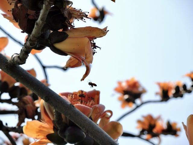 喀嚓!定格瞬間書寫影像記憶,小蜜蜂正忙著採集花蜜。(曉美提供)