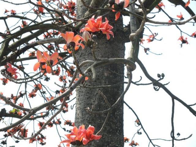 木棉花樹幹、樹枝都很乾癟,好像隨時有樹皮裂開的危險。(曉美提供)