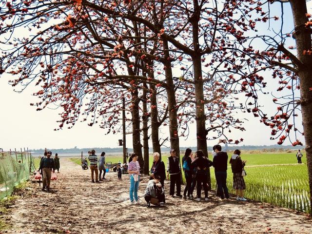 木棉花落紅化成春泥,繼續護祐木棉樹茁壯成枝葉扶疏的大樹。(曉美提供)