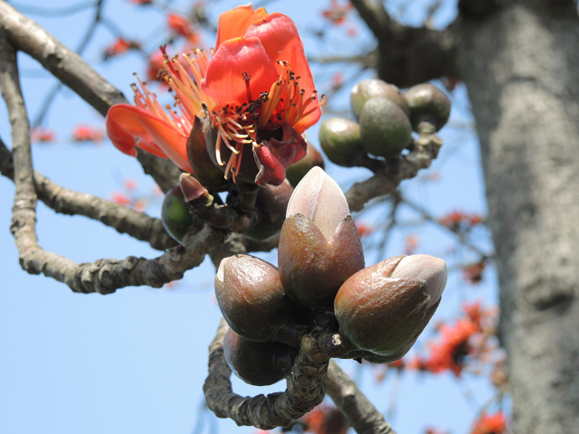 春季來臨,木棉花盡好自己的本分開著橘紅豔麗的花朵。(曉美提供)