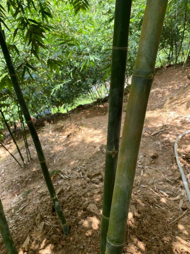 偏綠竹子為一年生成竹,黃的為二年生成竹,也有三年的。(攝影/記者林紫馨)