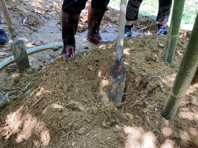 先將土扒開,挖除竹筍周圍土壤達到一定深度,使筍裸露,必須盡量保持與分櫱節平行後割斷。(攝影/記者林紫馨)