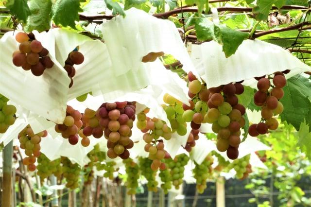 彰化大村鄉黑松觀光果園以栽種巨峰葡萄為主。(攝影/賴瑞)