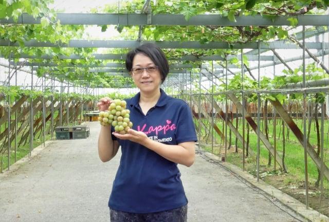埔心鄉路葡萄隧道果園以栽種溫室葡萄為主。(攝影/賴瑞)