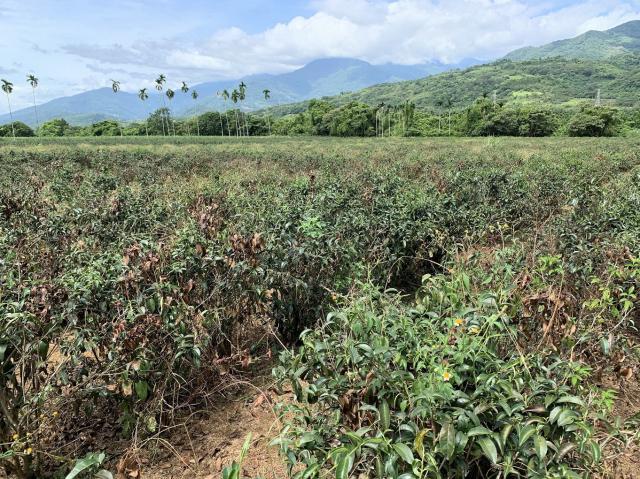 旱害多發生在大葉烏龍品種茶園。(行政院農委會茶業改良場提供)