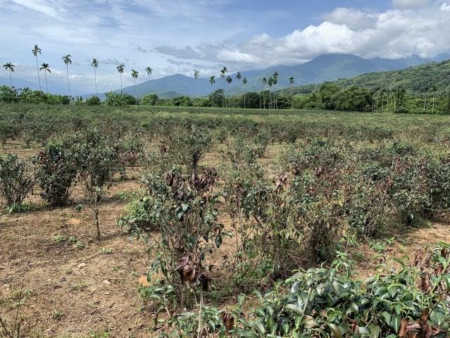 茶園地面裸露缺水導致旱害更嚴重。