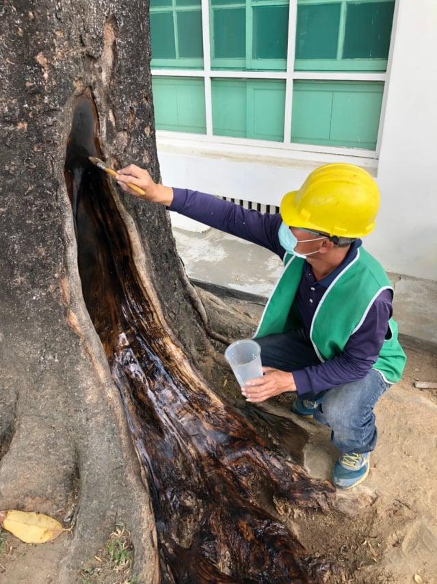 屏東縣政府定期進行老樹健檢與養護。