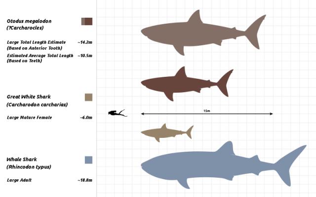 巨齒鯊和大白鯊大小對比圖:上是巨齒鯊,中是大白鯊。(Steveoc 86/Wikimedia Commons/CC BY-SA 4.0)