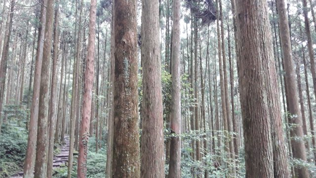 柳杉林遍布,左方是石塊步道。(攝影/王知涵)