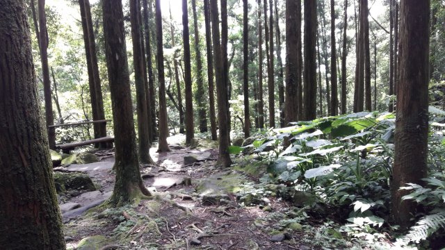 森林內柳杉林占多數,非常茂密,成為步道的遮蔭。(攝影/王知涵)