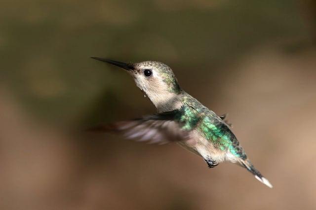 飛行中的雌性吸蜜蜂鳥。(Charles J Sharp)