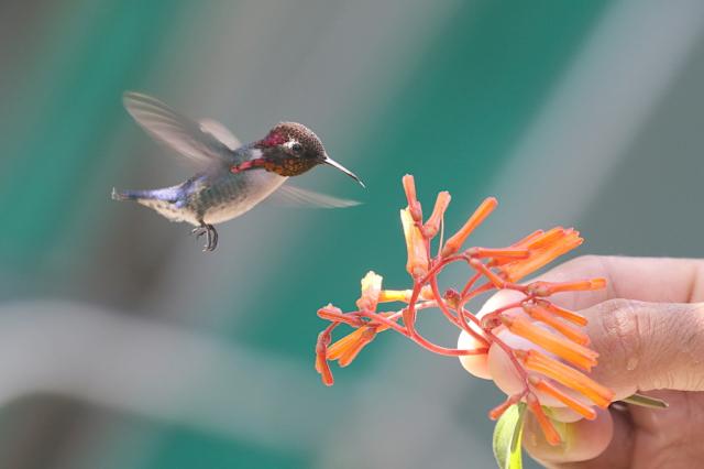 吸蜜蜂鳥是世界上最細小的鳥類。(Shutterstock)