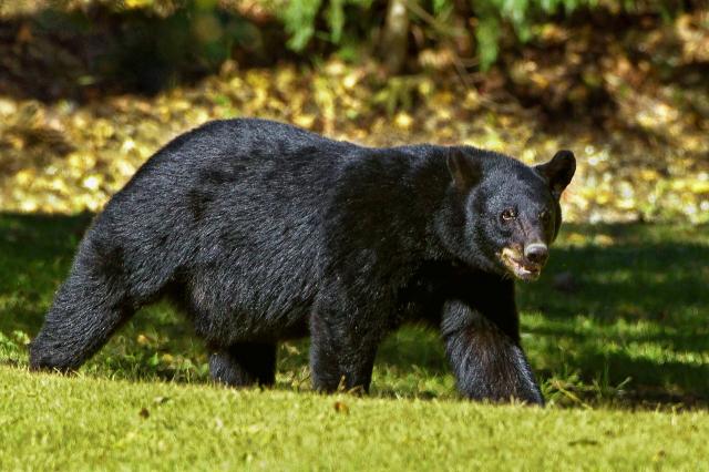 日本廣島縣居民佐佐木瑠美子在遭黑熊攻擊時將牠打跑。圖為黑熊示意圖。(Needpix)