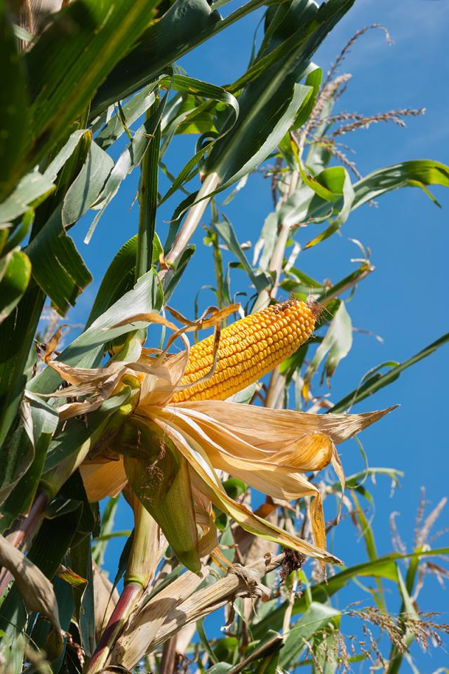 隱藏著深意的玉黍蜀,那般地茂盛而短暫。(123RF)