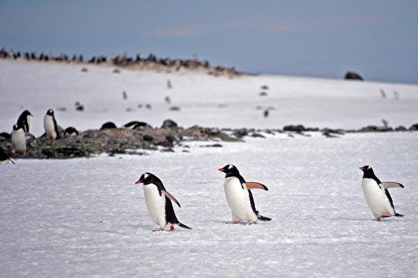 2019年11月6日,南極南設得蘭群島(South Shetland Islands)上的一群企鵝。(Johan ORDONEZ / AFP)
