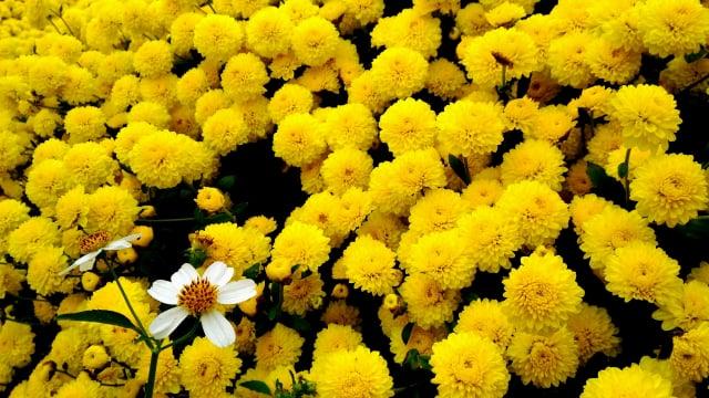 每年秋季苗栗銅鑼生產的杭菊。(楊子樊提供)