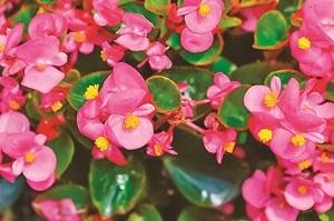 秋海棠除了花有藥效之外,其根、莖、葉均可入藥。(Shutterstock)