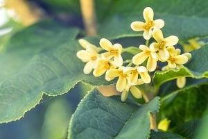 《本草綱目》記載:「桂花生津辟臭,化痰、治療風蟲牙痛。」(Shutterstock)