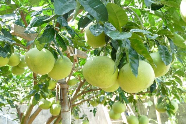 文旦柚採收後,接著西施柚會陸續成熟採收,西施柚的果肉酸中帶甜,口感細緻。(攝影/賴瑞)