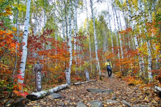 秋天的白樺葉,時序漸進地換上一襲金黃華服,從初秋到深秋,從黃綠到金紅到深褐,每刻都吸引人們的目光。(江原道麟蹄郡提供)