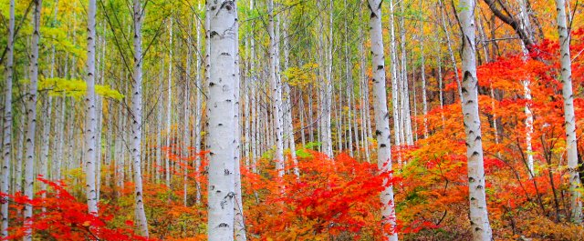 您可以選擇用廣角鏡頭,留下成片白樺林的療癒之美。(江原道麟蹄郡提供)