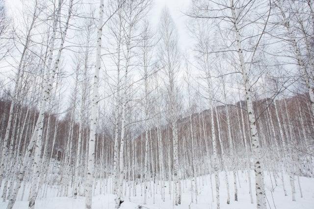 一棵棵筆直高聳,又白得耀眼的林子,刺眼的陽光,穿過林間,灑落一地的銀白世界。如此充滿異國風情的畫面,主角正是白樺林。(江原道麟蹄郡提供)