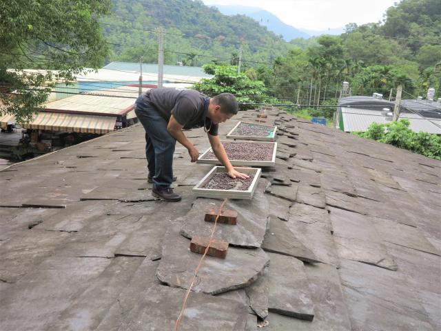 在多納部落採收的咖啡豆,日晒的咖啡豆要晒1個月左右。(攝影/賴瑞)