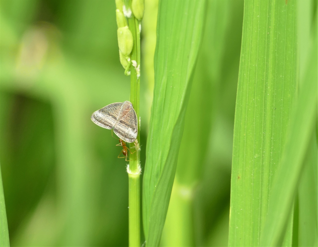 裡山塾水稻田中出現蛾。(攝影/賴瑞)