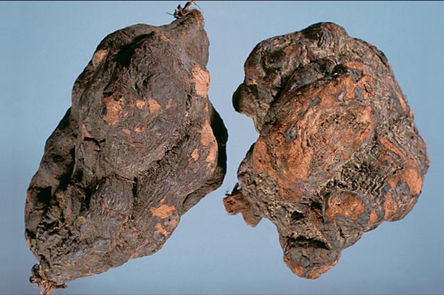 何首烏原藥材:紅棕色、皺縮、團塊、有根痕。(張賢哲教授《道地藥材圖鑑》提供)