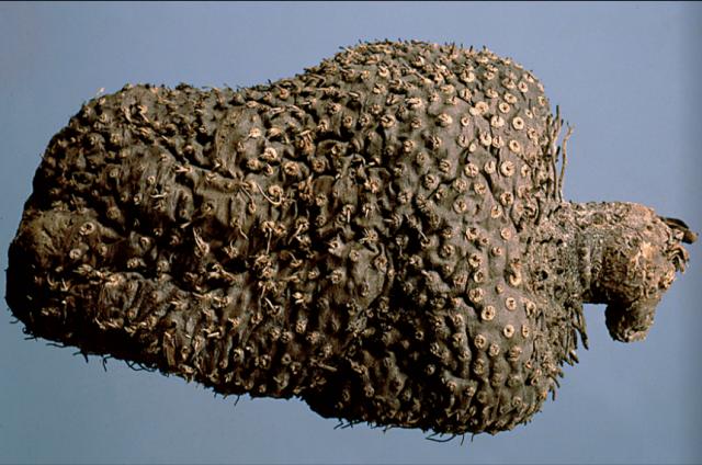 黃藥子原藥材:密布圓形鬚根痕。(張賢哲教授《道地藥材圖鑑》提供)