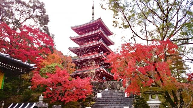 竹林寺秋季火紅楓葉,吸引旅人及朝聖者爭相探訪。(高知縣提供)