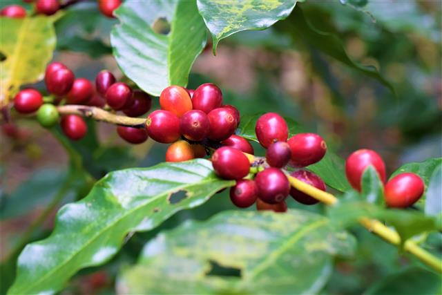 185縣道原鄉咖啡溫潤豐厚、味譜豐富,是精品級的好咖啡。(攝影/鄭池南)