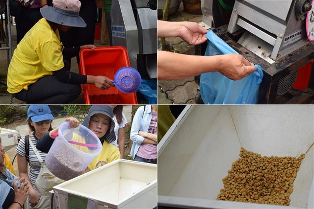 咖啡豆的水洗、去皮、乾燥、去殼後製體驗。(攝影/鄭池南)