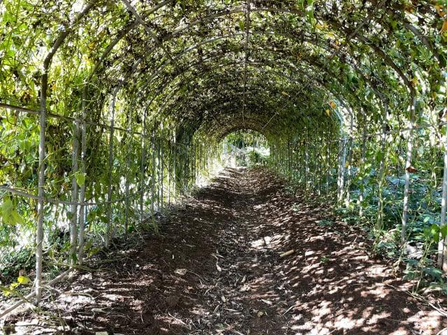 農民劉勝旋以隧道棚架式種植,增加山藥葉子的光合作用面積。(臺北市農會提供)