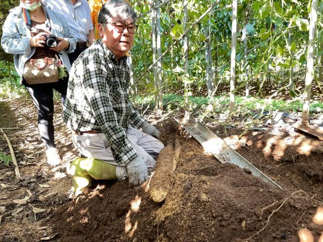 農民劉勝旋挖出的山藥。(臺北市農會提供)
