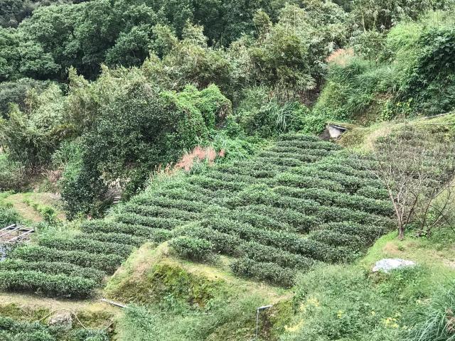貓空茶樹。(攝影/朱孝貞)