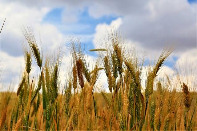 古人借用田中早種植的禾穀來表示「妯娌」的先後關係。(pixabay)