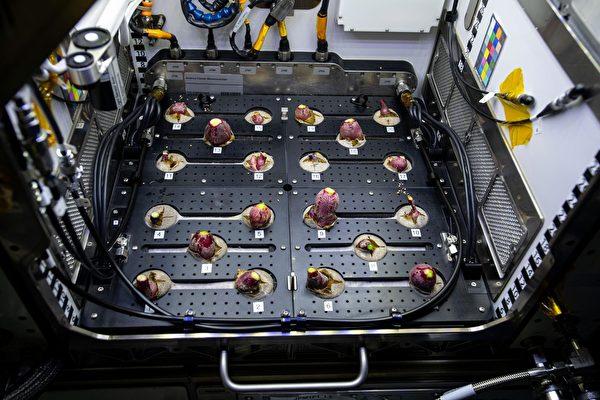 這是在太空站上種植的第一批蘿蔔。(NASA)