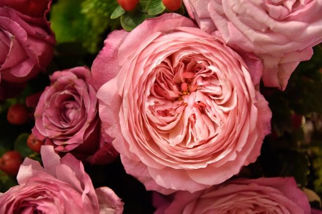 雍容華貴的朱麗葉(Juliet Rose)是目前世界上最貴的花,一朵可以高達500萬美元。(Shutterstock)
