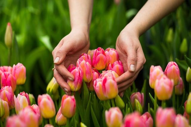 鬱金香至今仍是世界上第三昂貴的花。(Shutterstock)