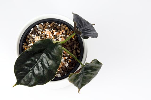 阿茲蘭觀音蓮(Alocasia Azlanii),唯有真實目睹才能感受它的美麗。(Shutterstock)