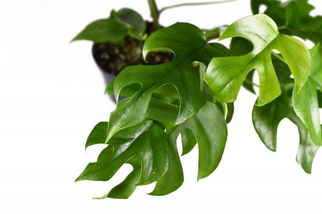 這是單色的迷你蔓綠絨雜(Philodendron Minima),價格一般。如果葉片上有班點或其它顏色,價格就不一樣了。(Shutterstock)