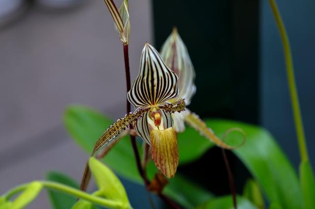 來自金那巴魯國家公園獨特的蘭花。(Shutterstock)