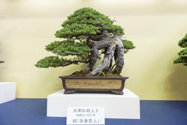 2017年4月在日本埼玉市舉行的第8屆世界盆栽展覽會上,展示世界頂級盆栽珍品。(攝影/盧勇)