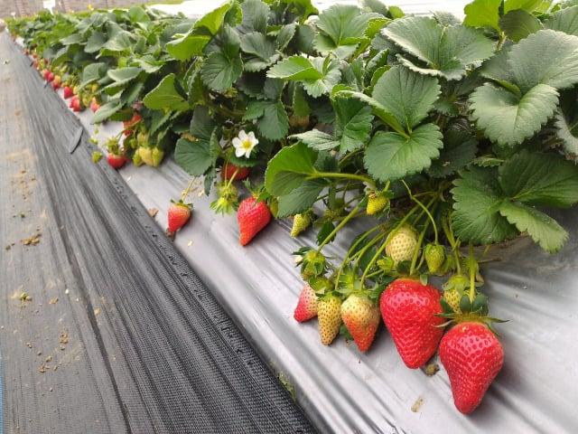 戀香草莓香氣特殊、糖酸比高。(行政院農業委員會苗栗區農業改良場提供)