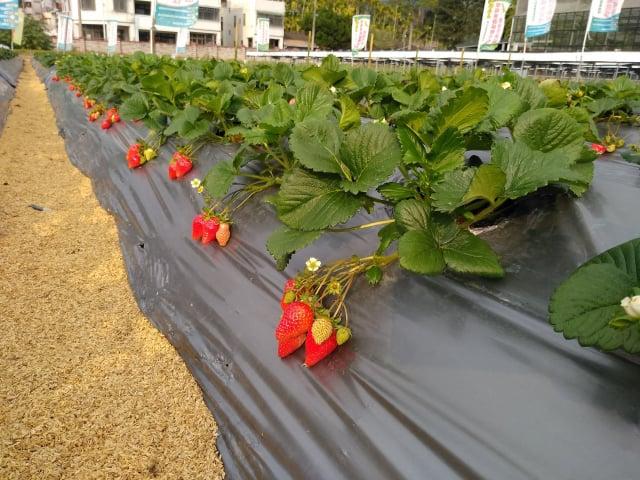戀香草莓香氣為甜香及微清香。(行政院農業委員會苗栗區農業改良場提供)