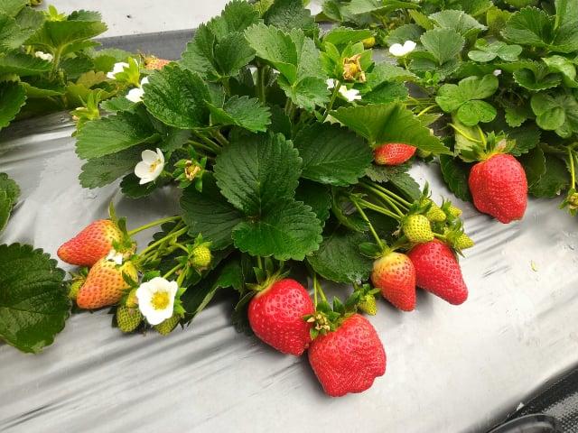 香水草莓果實為圓錐形。(行政院農業委員會苗栗區農業改良場提供)
