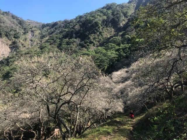 近日氣候持續偏冷,六龜竹林梅花陸續盛開。