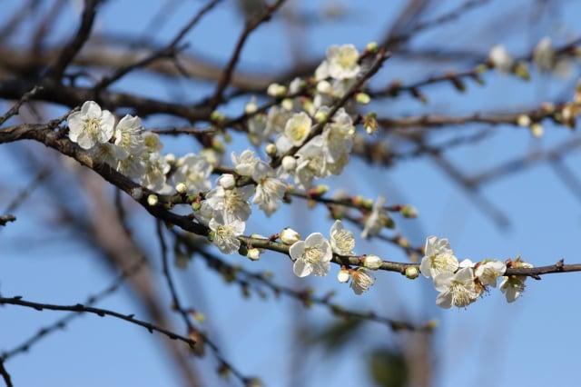 近日氣候持續偏冷,六龜竹林梅花陸續盛開。(高雄市觀光局提供)